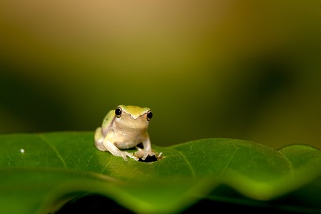 hyla:  Baby Tree frog on the leaf (Hyla chinensis)  Stock Photo