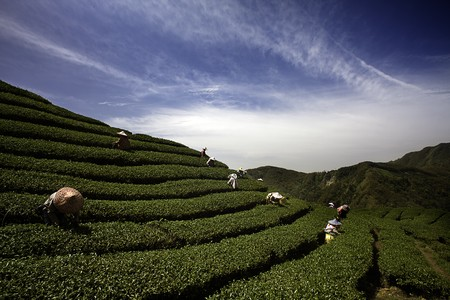 Ba Gua Tea garden in mid of Taiwan, This is the very famous area known for hand-picking of tea  photo