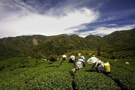 Ba Gua Tea garden in mid of Taiwan, This is the very famous area known for hand-picking of tea