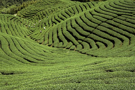 gua:  Ba Gua Tea garden in mid of Taiwan, This is the very famous area known for hand-picking of tea