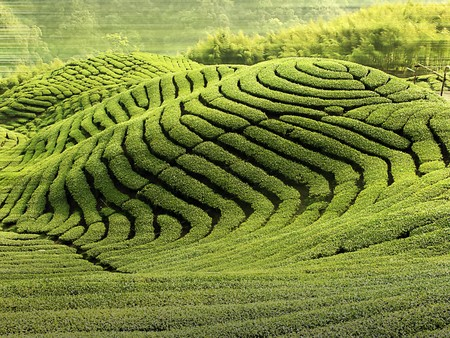 taiwan scenery:  Ba Gua Tea garden in mid of Taiwan, This is the very famous area known for hand-picking of tea