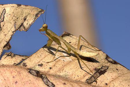 gottesanbeterin: Mantis