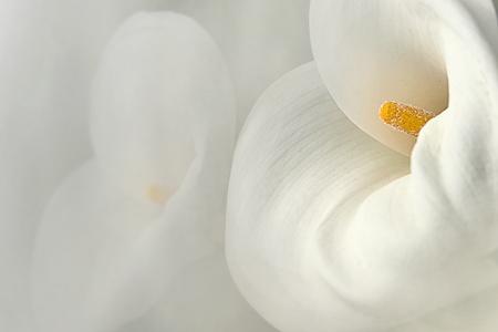 calla lily: cross finger Calla Lily with black background