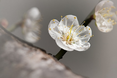 plum flower: Pink Plum flower with nice background color for backgrund or other purpose use