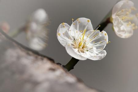 ciruela: Rosa flor de ciruelo con color de fondo agradable para backgrund u otros usos de prop�sito