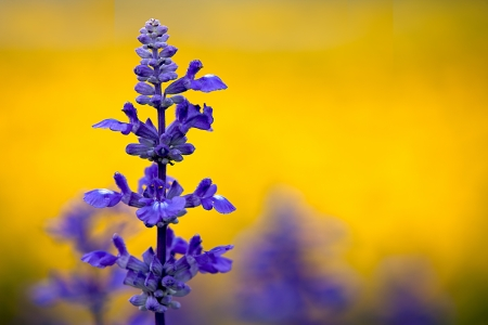 Clary Sage (Salvia sclarea) for background use  photo