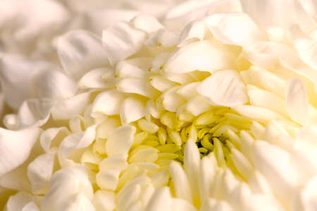 Detail of beautiful chrysanthemum for texture or others purpose use  photo