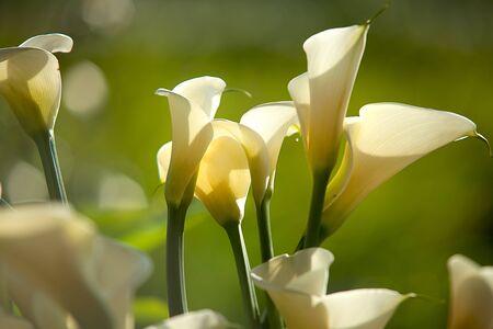 lirio de agua: Calla Lily flor  Foto de archivo