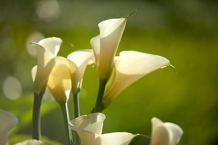 arum flower: Calla Lily blossom