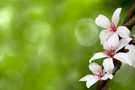 Aleurites Montana flower, white mix with nice background