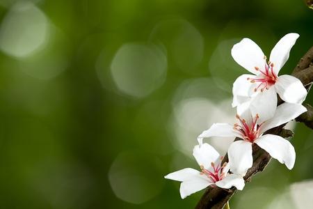 素敵な背景を持つ Aleurites モンタナ州花、白ミックス