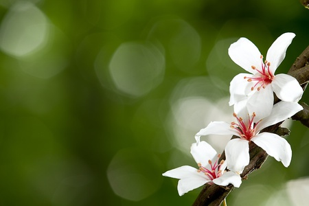 Aleurites mezcla de flor, blanco de Montana con fondo de Niza