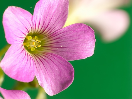 creeping oxalis Stock Photo - 9535037