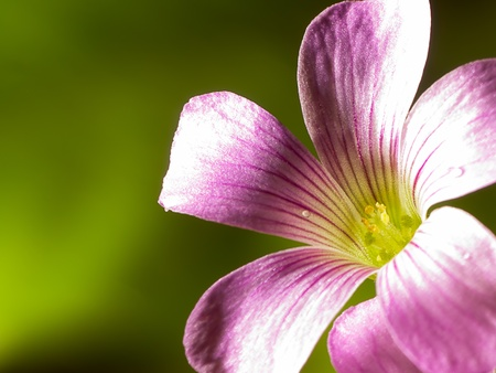 creeping oxalis  Stock Photo - 9521483