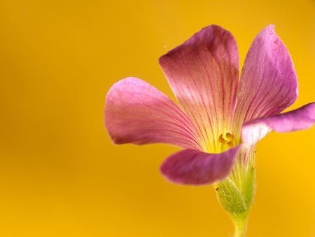 creeping oxalis Stock Photo - 9521481