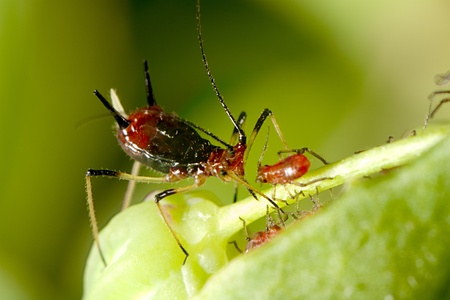 aphid: aphid with nice background color