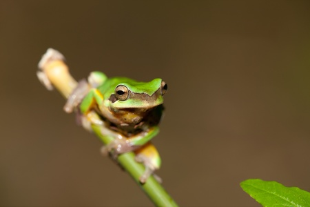 hyla: Tree frog on the leaf (Hyla chinensis) Stock Photo