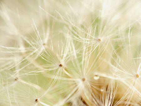 dandelion sumbel photo