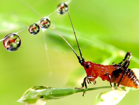 Grasshopper larv with water droplet on the web photo
