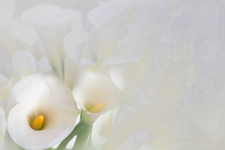 White calla lilies photo