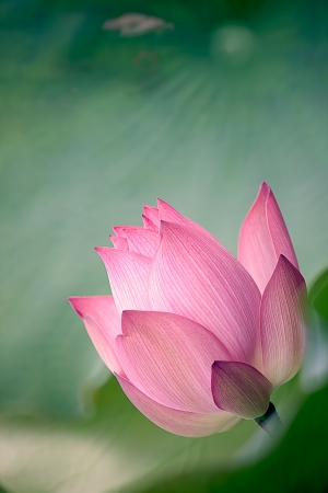 pink lotus: Beautiful Lotus