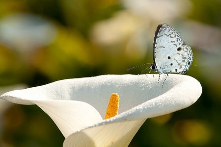 Butterfly on flower (Calla lilies) Stock Photo
