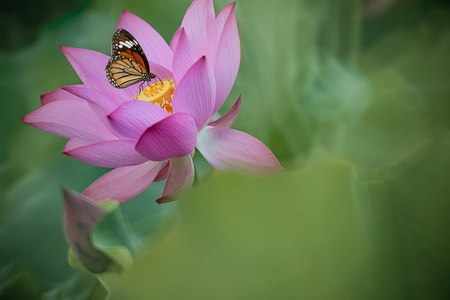 Butterfly on flower (Lotus) photo