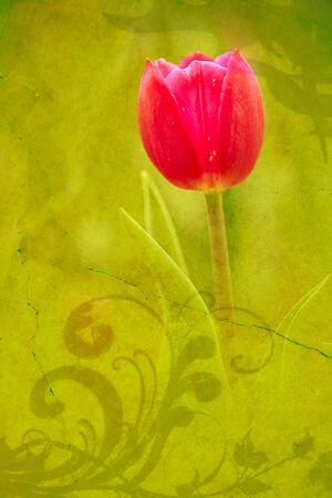 Tulip for background use  photo