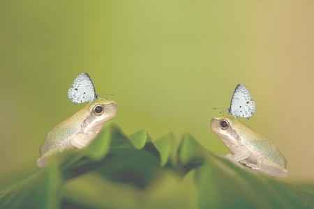 hyla: Two Baby Tree frog on the leaf (Hyla chinensis)  Stock Photo