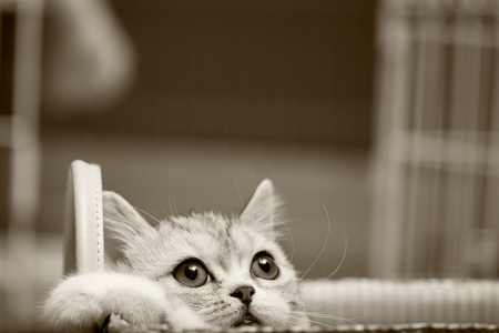 Scottish Fold cat looks at somewhere  photo