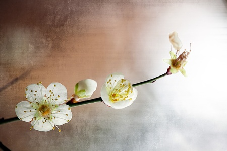 Spring background with plum flowers photo