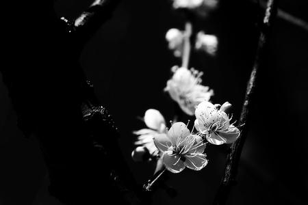 ciruela: Primavera de fondo con flores de ciruelo