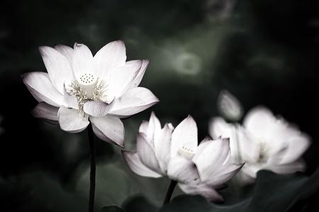 lake flowers: Beautiful Lotus for background use  Stock Photo