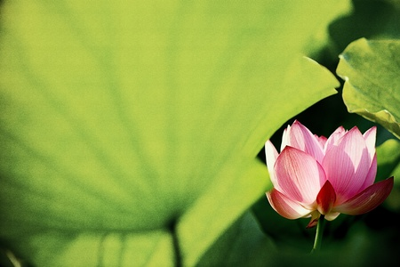 Beautiful Lotus for background use  Stock Photo - 12049372