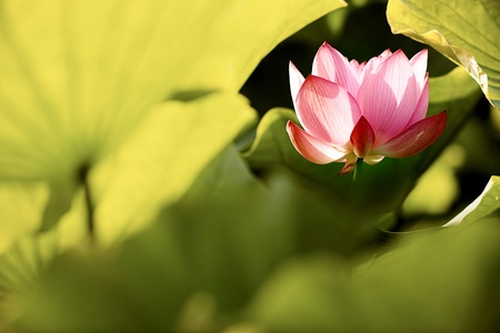 chinese flowers: Beautiful Lotus for background use  Stock Photo