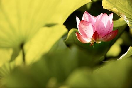 flores chinas: Beautiful Lotus para el uso del fondo