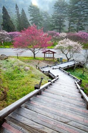 sakura arbol: Las flores del ciruelo en flor rama de un �rbol