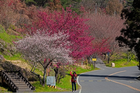 Plum flowers blossoming tree branch