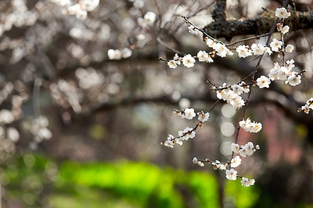 Plum flowers blossoming tree branch photo