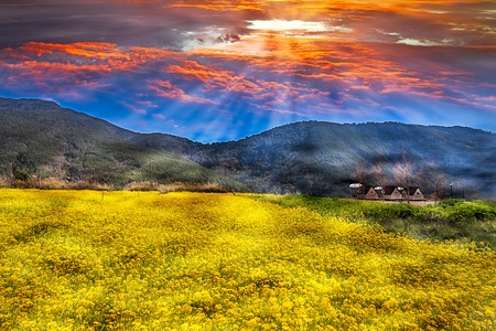coleseed: Rape field and sunset