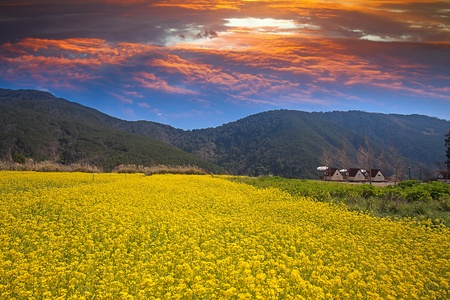 Rape field and sunset photo