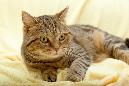 Lying cat for background or texture Stock Photo - 12476341