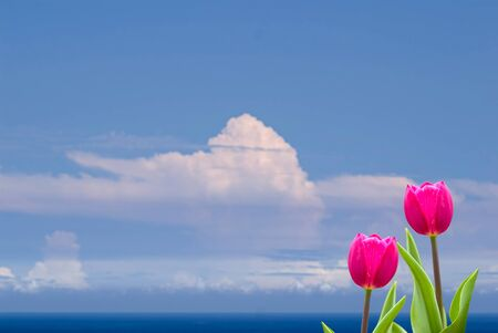 Fresh spring tulips with nice background  photo