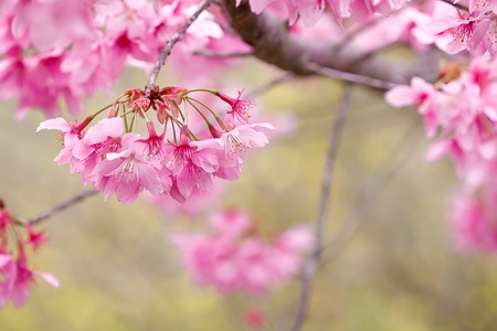 The annual   March Wuling Farm s cherry blossom season, Wuling cherry varieties based on color pink flowers form large cherry Pretty in Pink  P  hybrid cv -  Pink Lady   for Lord