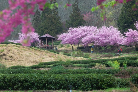 The annual   March Wuling Farm s cherry blossom season, Wuling cherry varieties based on color pink flowers form large cherry Pretty in Pink  P  hybrid cv -  Pink Lady   for Lord  photo