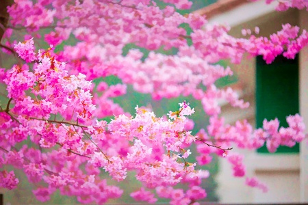 Painting style of landscape with nice sakura flower Stock Photo - 12398624