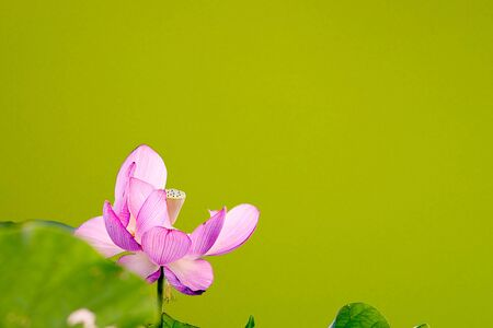 Beautiful Lotus  photo