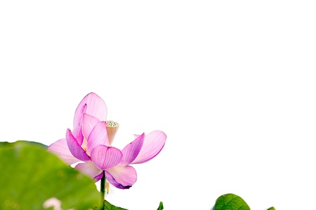 waterlilies: Beautiful Lotus