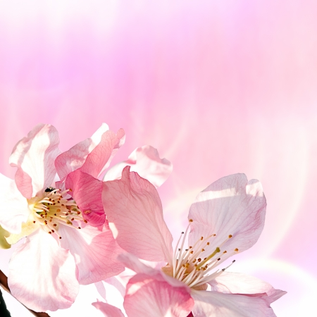 Pink sakura for adv or others purpose use Stock Photo - 13640925