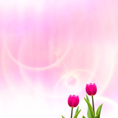 room for text: Tulip with nice pink background